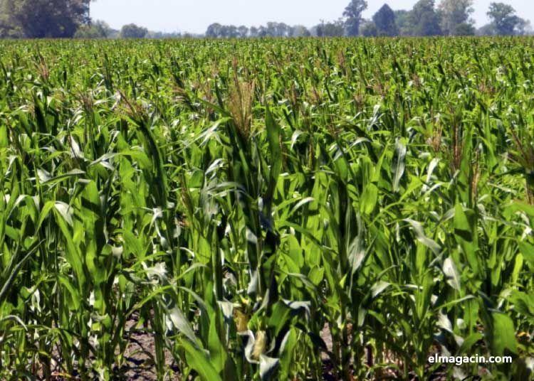 El cultivo de maíz en América. El Magacín.