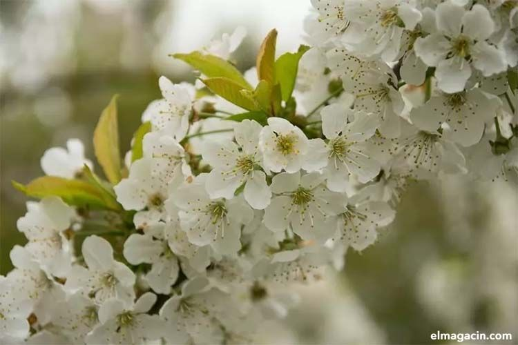 Cherry Blossom, una de las flores más bonitas del mundo