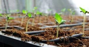 Qué son los bancos de semillas de marihuana
