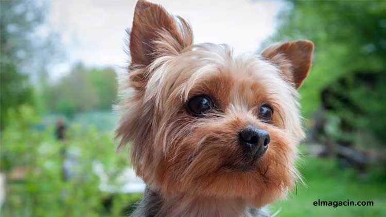 Cachorros de YorkshireTerrier. El Magacín