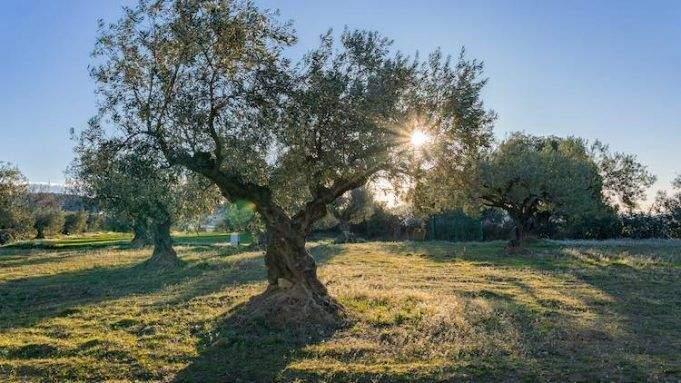 Cómo apadrinar un olivo