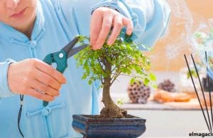 Cómo cuidar un bonsái de interior.