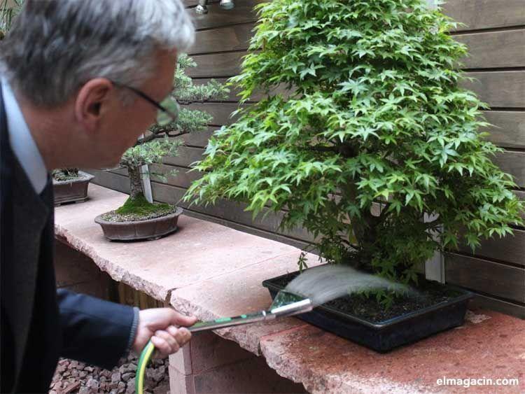 Cómo regar adecuadamente un bonsái.
