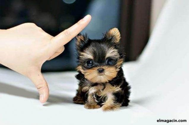 La raza de perro más pequeña del mundo