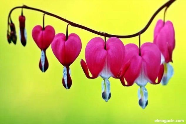 Flor sangrante. Flor de loto. Las flores más bonitas del mundo