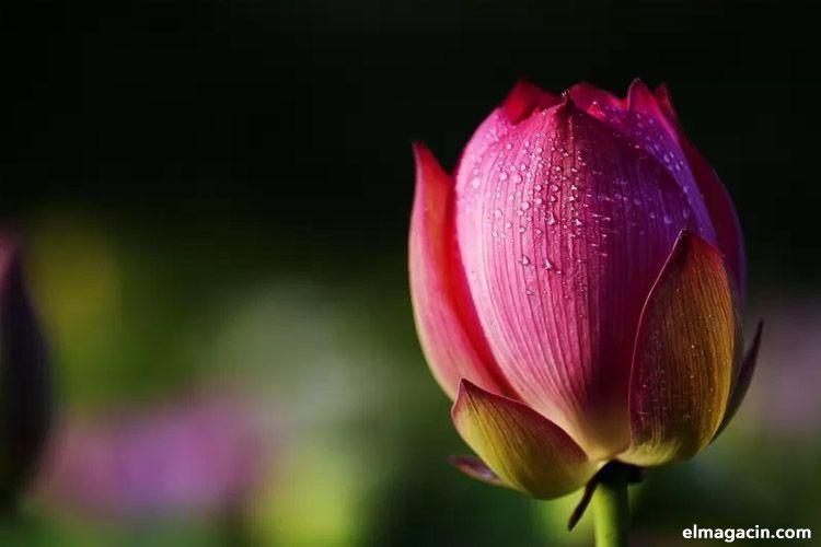 Flor de loto. Las flores más bonitas del mundo