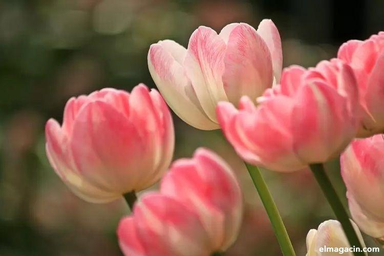 Imágenes de tulipanes. Las flores más bellas del mundo.
