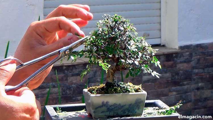 Cómo cuidar un bonsái.