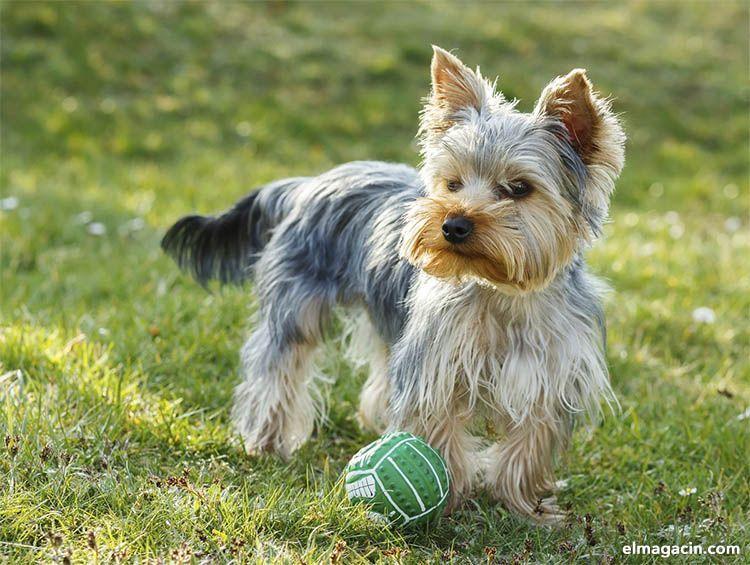 Yorkshire carácter y personalidad de los cachorros